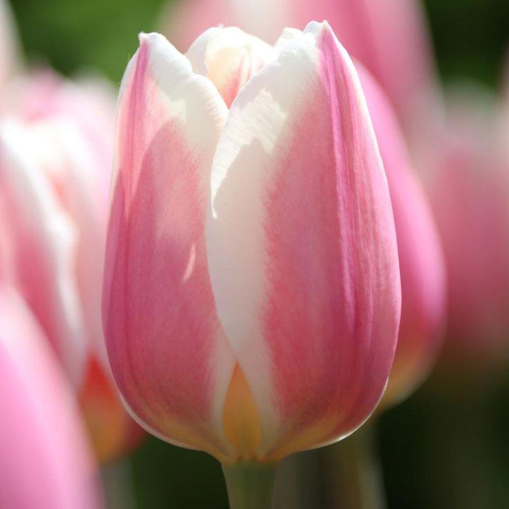Tulip Apricot Delight - Longfield Gardens