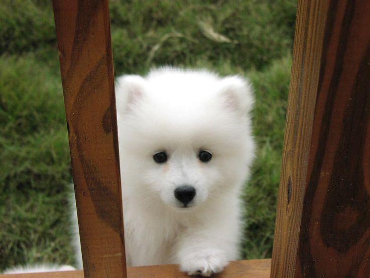 american eskimo puppy--want.