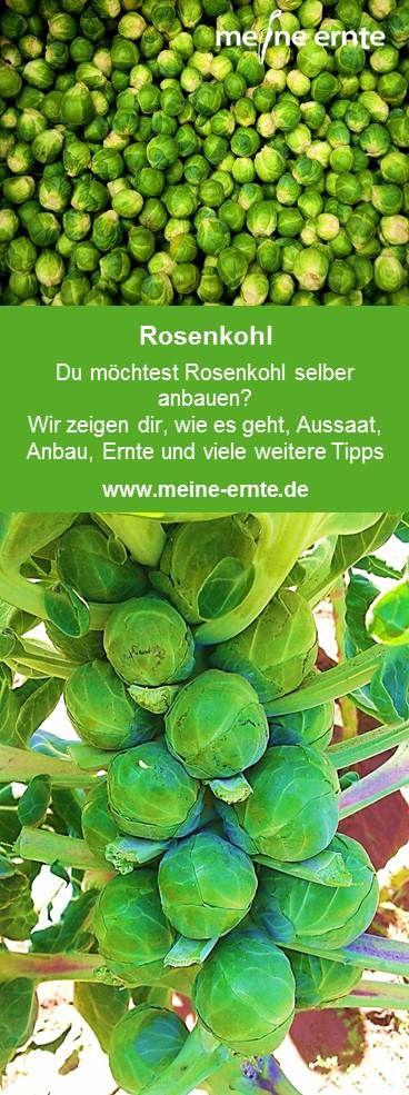 Rosenkohl – Hier erfahrt Ihr alles rund um den Rosenkohl: Anbau, Ernte, Pflege und vieles mehr. #eatclean #heresmyfood #urbangardening #gardeningtime #growyourownveggies #eatwhatyougrow