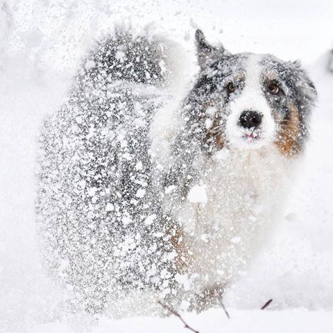 #снеговик слепился сам 😊  .  .  #снегидет #снегопад #замелазима #метель #зима #сугроб #собакаподснегом #подснежник #чудеснаяпогода #питерстанетбелым #аусси #австралийскаяовчарка #зимняяпрогулка #снегамногонебывает #australianshepherdworld #aussies #winter #snow #whitedog #snowfall #fallingsnow #snowdrop #snowflake