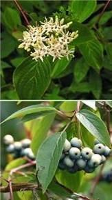 Silky Dogwood Shrub