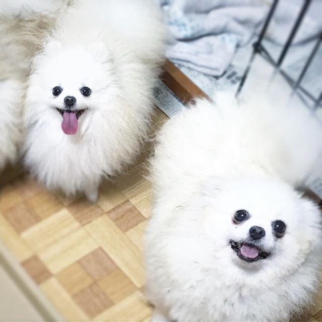 輸入組の女の子ƪ(˘⌣˘)ʃ 左が妊娠してるチッチ、右がサモ♫ちなみにサモはサマーカットしちゃいました💖 . #whitedog #white #whitepomeranians #whitepomeranian #pomeranian #pomeranians #dog #dogstagram #dogsofinstagram #dogs #tinydog #cutedog #ポメラニアン #ホワイトポメラニアン #ポメラニアンブリーダー #ホワイトポメラニアンブリーダー #ブリーダー #犬 #愛犬 #ポメ #可愛い #いやし犬
