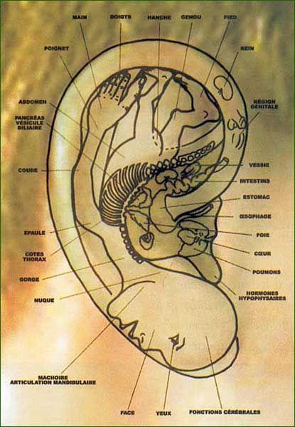 L'oreille est une représentation miniature du corps