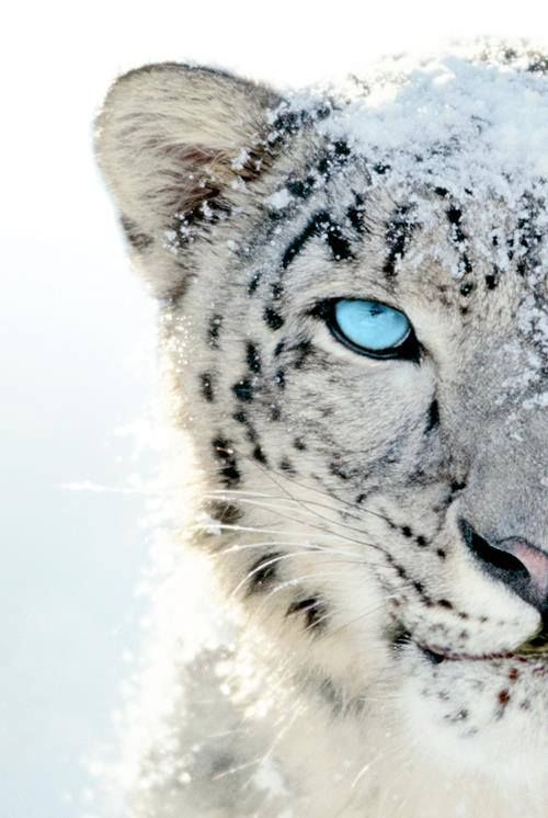 Snow Leopard. Eyes aren't usually blue but there have been recent exceptions. I think this one is photoshopped because the natural ones I've seen are deeper indigo blue .. still , this is artistic license and I'll enjoy it.