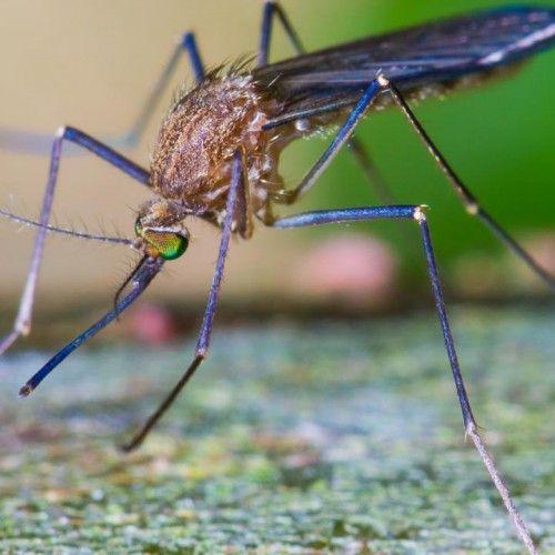Last van muggen ? Gebruik dit natuurlijke middel !