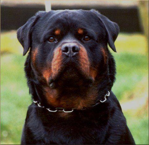 German Rottwieler Balou vom Silberblick | Champion German Rottweiler