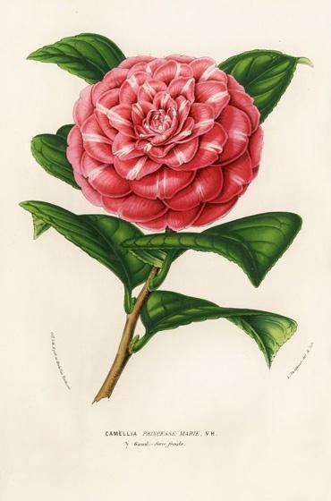 Camellia Pelagia