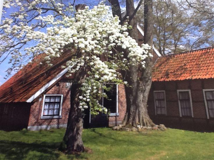 Erve de Hamer met bloeiende perenboom bij Geesteren.   Nederland.