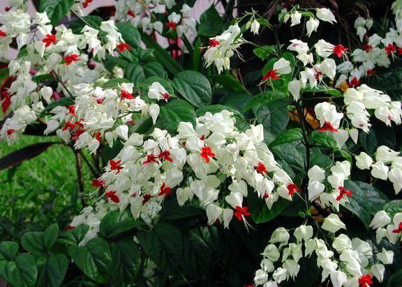 Clerodendrum Thomsoniae Kızılay Çiçeği KARGO BEDAVA, Saksıda - Fidan Satışı, Fide Satışı, internetten Fidan Siparişi, Bodur Aşılı Sertifikalı Meyve Fidanı Süs Bitkileri
