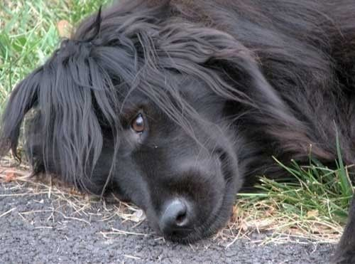 1000+ ideas about Border Collie Lab Mix on Pinterest | Lab ...