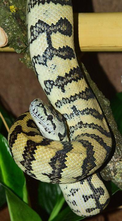 Snake, Tapijt Python, Wild Dier, Dierenwereld