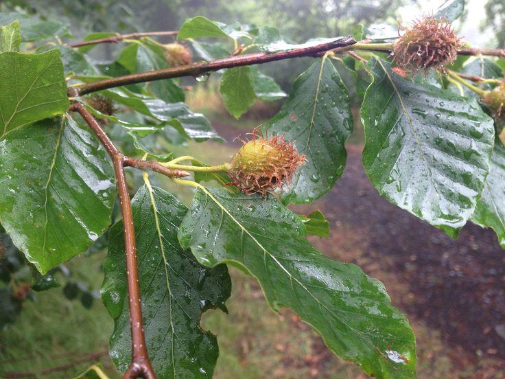 young beechnuts ripening