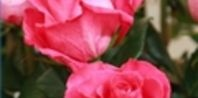 How to Cut Dead Roses From a Rose Bush