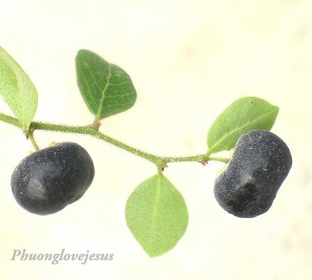 Liver enzymes detailed simply put. The most important ones to be aware of. http://liverbasics.com/liver-enzymes.html Mature fruits of Phyllanthus...