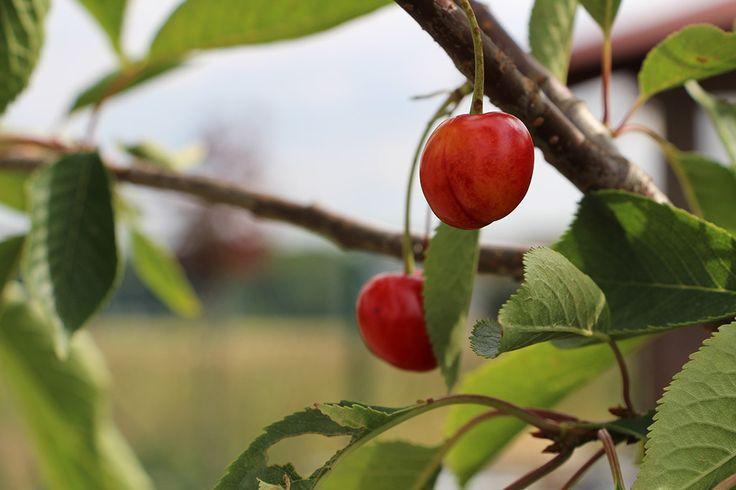 Červen patří třešním... konkrétně toto je stará odrůda sladkovišně Královna Hortenzie. Chuť zváštní, ale každým rokem si na ni víc a víc zvykáme a začíná se nám  i líbit. Jen je chce sníst dřív, než je nabodají vosy.