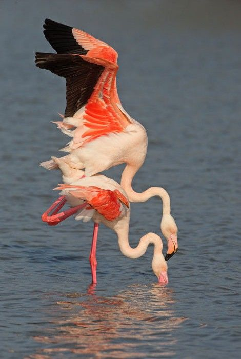 Greater Flamingo mating by Paul Hobson