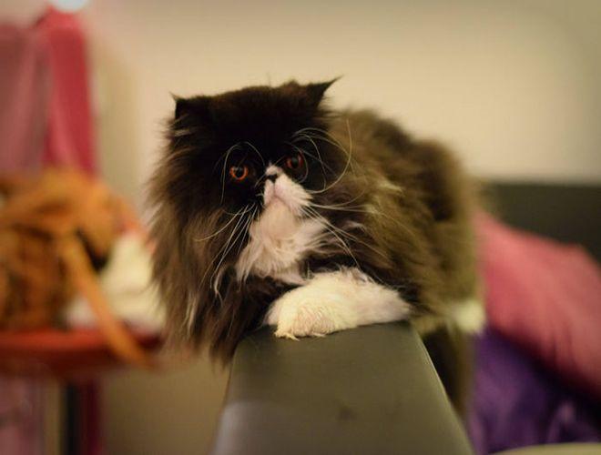 Si on soupçonne son chat d'avoir de la fièvre, il ne suffit pas de lui tâter le museau... Découvrez comment prendre efficacement sa température ici : http://www.yummypets.com/wellbeing/article/50981-comment-prendre-la-temperature-de-son-chat #chat #conseil #animaux #animal