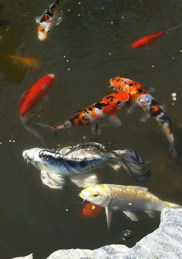14 best koi fish images on pinterest pisces koi carp for Butterfly koi fish aquarium