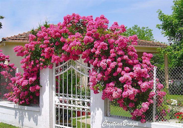 A Rosa Trepadeira e um arbusto escandente, grupo de roseiras híbridas do Japão, pertence à família das Rosaceae, possui caule fino, flexivel, de ramos......