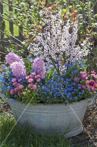 Alte Zinkwanne mit Fruehlingsbluehern bepflanzt – Bild kaufen – Friedrich Strauss Gartenbildagentur