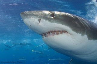 Swim With Great Whites In Their Natural Habitat - Adult, Port Lincoln, Eyre Peninsula SA | RedBalloon