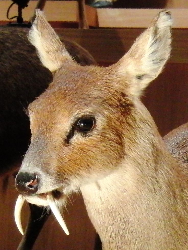 Chinese water deer also known as the vampire deer Once thought extinct, researchers recently found a lone Kashmir musk deer in northeastern Afghanistan last November for the first time in 60 years.