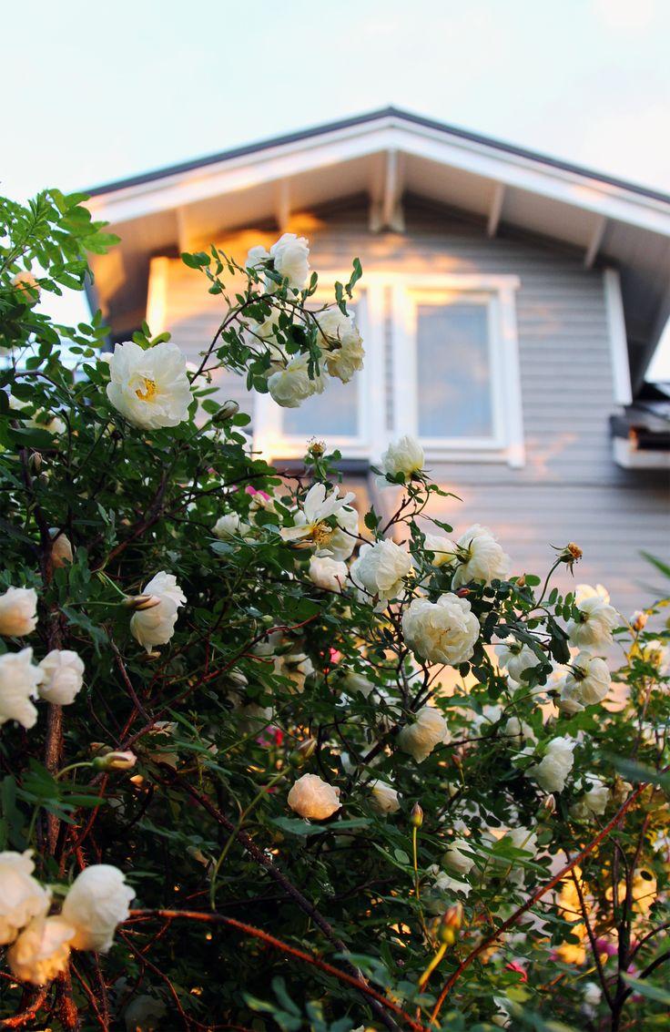 Juhannusruusu. Midsummer rose.