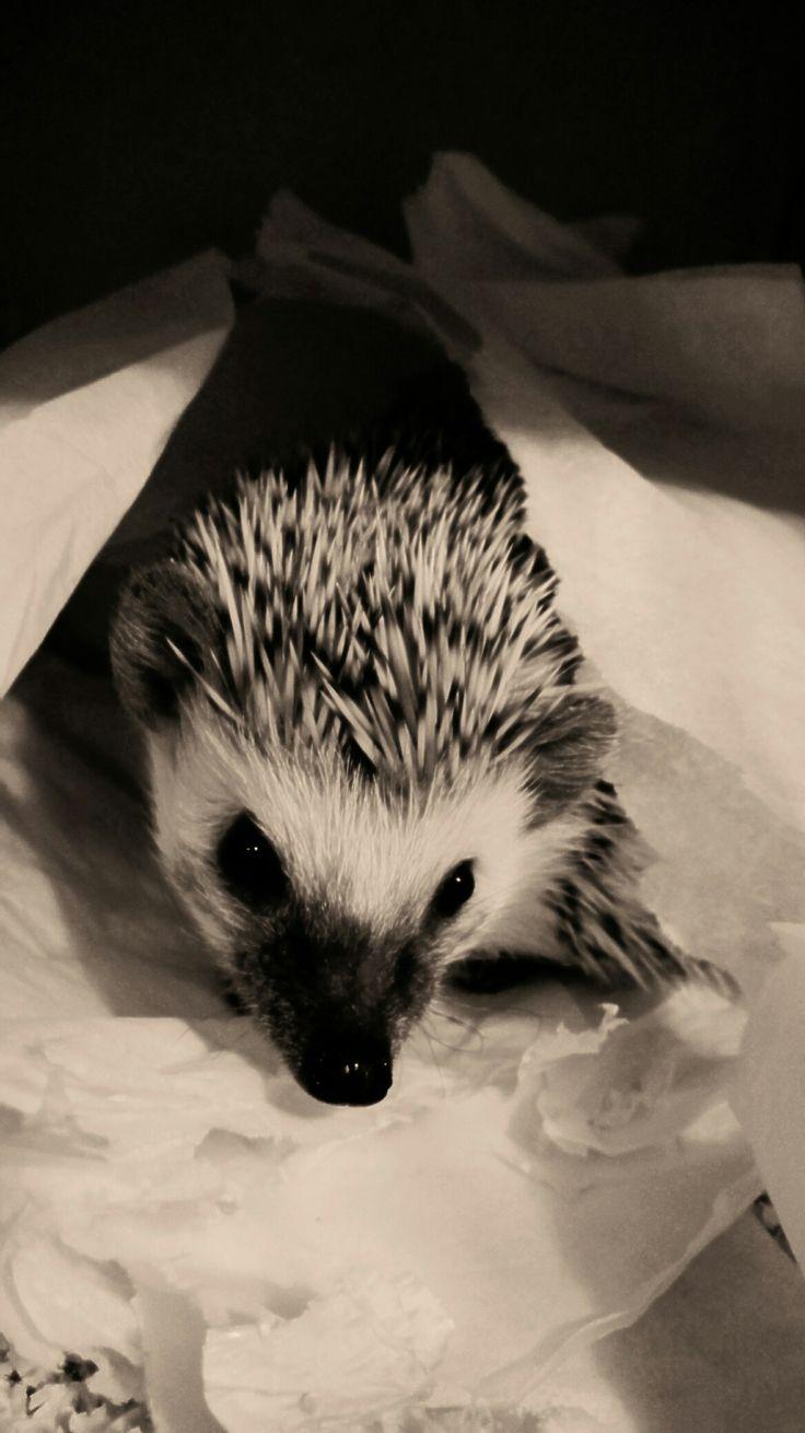 Hedgehog, Rosie, ježek bělobřichý