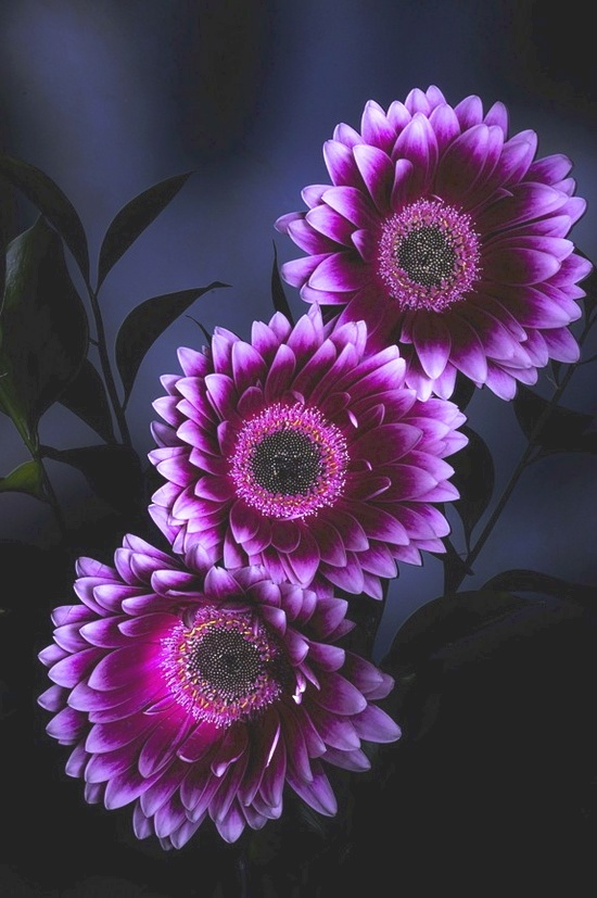 Gerbera Daisies  (Photo by Jean Boulay)