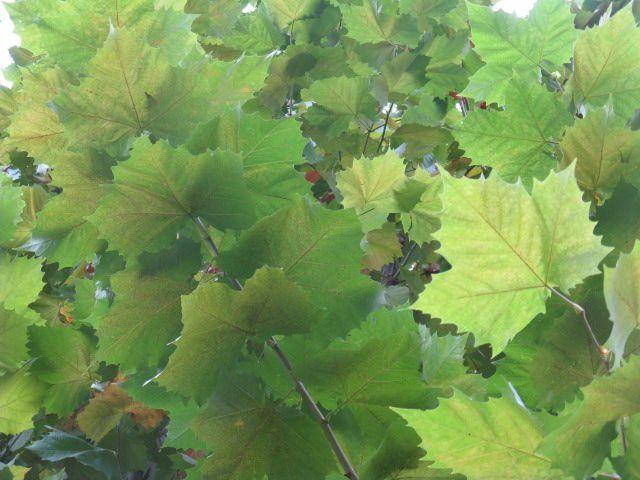 8月21日の誕生日の木は世界で最も多い街路樹といわれる「プラタナス」です。和名は「スズカケノキ(鈴懸木)」。和名の由来は、果実が鈴をぶら下げたようになる様からが広く知られていますが、もうひとつ、果実の姿が、山伏が着る麻の衣「篠懸(すずかけ)」についている鈴のような房に似ていることから名づけられたという説もあります。プラタナスは4月から5月にかけて花を咲かせ、10月から12月頃に実を付けます。樹高が高く、樹形の美しいプラタナスは、その風格と美しさから、ヨーロッパでは古くから栽培され、現在では世界中の温帯地域で街路樹、庭園樹に広く用いられ、世界的に木陰をつくる木として利用されています。日本に渡来したのは、明治に入ってから。最も古いプラタナスは小石川植物園にあり、1876(明治9)年に植えられと伝えられています。その後、新宿御苑や日比谷公園などに並木樹、庭園樹として植えられました。
