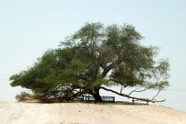 . Árvore da Vida  Há 400 anos ela vive solitária no meio do deserto do Bahrein, graças às raízes profundas e extensas.