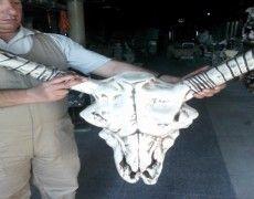 Ox Head Skeleton