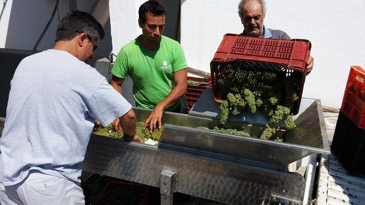Harvest at Lyrarakis #Wines