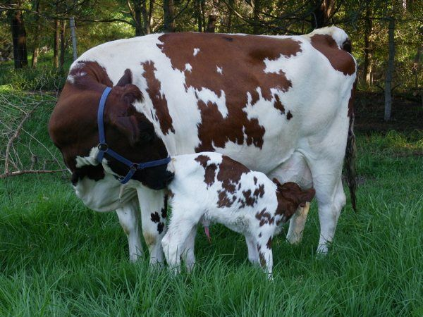 Gallery For > Baby Ayrshire Cattle | Cattle | Dairy cattle ...