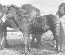 A zebroid (also zedonk, zorse, zebra mule, zonkey, and zebrule) is the offspring of any cross between a zebra and any other equine: essentially, a zebra hybrid. In most cases, the sire is a zebra stallion. Offspring of a donkey sire and zebra dam, called a zebra hinny, or donkra, do exist but are rare. Zebroids have been bred since the 19th century. Charles Darwin noted several zebra hybrids in his works. Zorse.gif