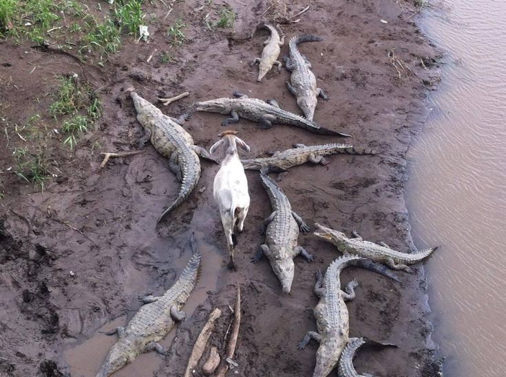 Так корова или коза? - Мастерок.жж.рф