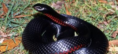 red-bellied-black-snake_1.jpg (384×176)
