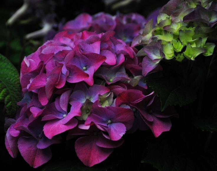 25 Best Ideas About Purple Hydrangeas On Pinterest
