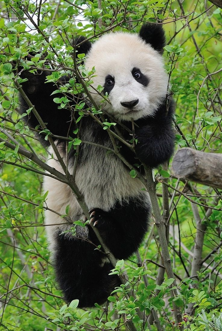 Fu Bao at Zoo Vienna in Austria. © Jutta Kirchner.