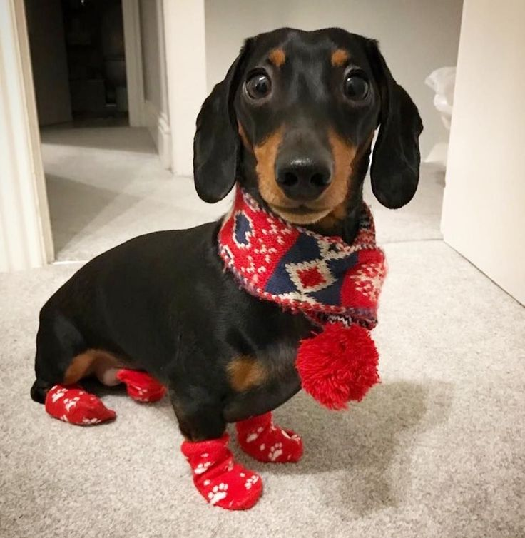 Cute Dachshund Puppy… If you love dachshunds, visit our blog to find the best …  – Dachshund