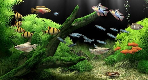 Types of freshwater aquarium fish for beginner an easy to for Easy aquarium fish