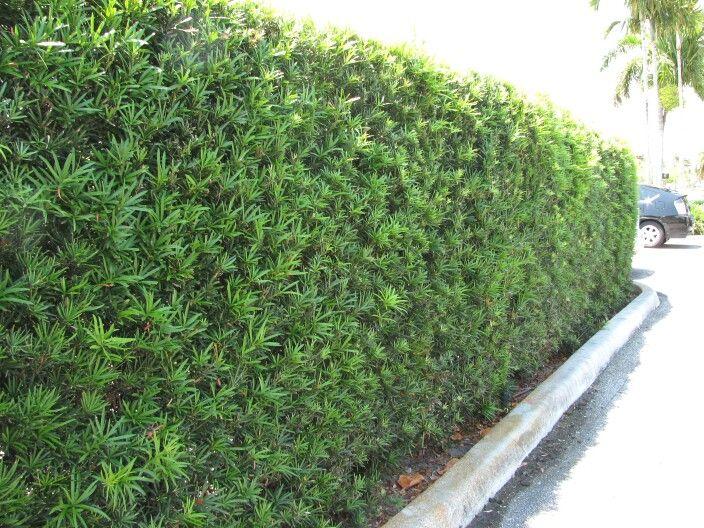 Cerca viva de podocarpus