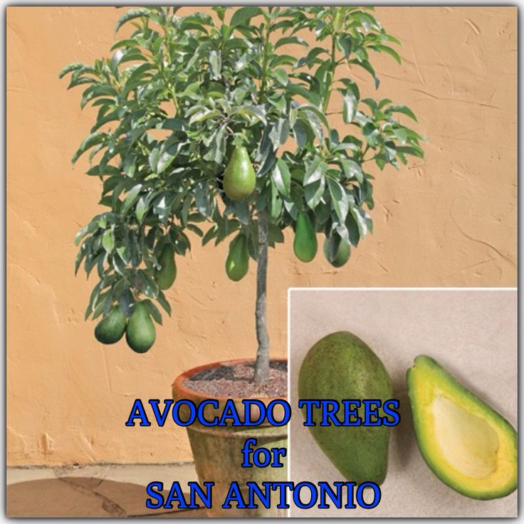 AVOCADO TREES GROWN IN SAN ANTONIO, TX. Cold hardy avocados are of Mexican origin. They are self-fertile & have thin, tender skin that clings to the flesh. The fruit has a high oil content, up to 30%. To grow an avocado tree in a pot, use at least 15-gal. container. If you plant the avocado in the ground, do not plant it in lawns. It can't take as much water as the grass needs & can not tolerate standing water. The ideal spot is a slope with good draining or in an area with deep well-drained…