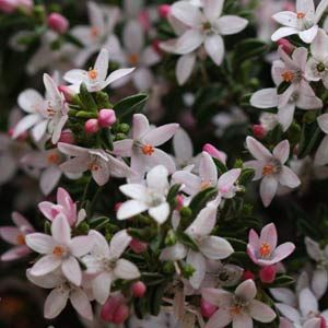 Eriostemon (syn Philotheca) Wholesale, Nurseries, Wholesale Plants,contract, growers