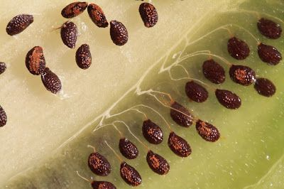 Kiwi Seeds Up-Close, Connected to Styles