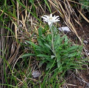 """El edelwais o flor de nieve capaz de soportar bajas temperaturas gracias a sus hojas y flores con """"pelitos"""". ¡Como si llevase un forro polar, vamos...!"""