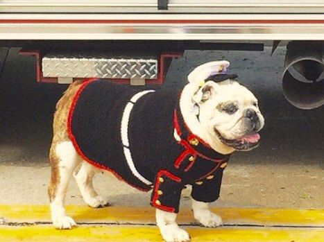 This listing is for bulldog clothes like the picture above. The set includes the dress blues sweater and hat. Here is an example of a really