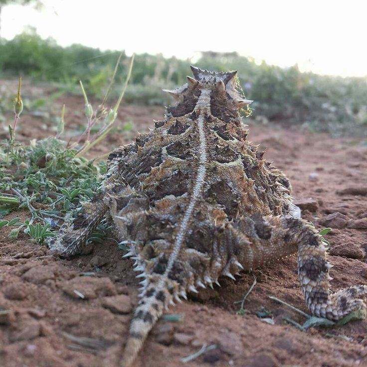 Texas Horned Lizard (or Toad as we called it); State Reptile of Texas