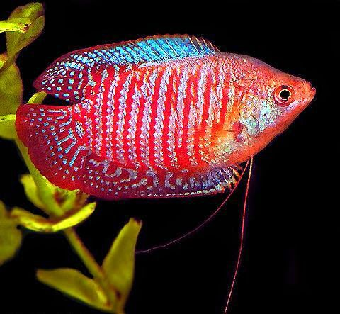 260 best labyrinth fish longvissen images on pinterest for Jb tropical fish