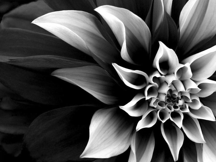 342 best dahlia asteraceae images on pinterest pretty flowers blackwhitephotos so lets not think of doom just believe that mightylinksfo